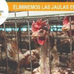 En Ecuador, 15 millones de gallinas viven en condiciones propicias para las enfermedades