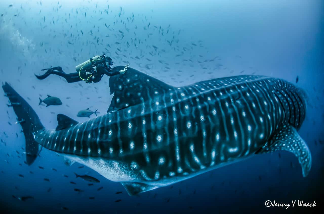 Una tiburón ballena adulta recorrió 1.100 kilómetros desde Galápagos hasta las Isla del Coco en Costa Rica, durante tres semanas.